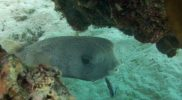 Porcupine-Fish-Getting-a-Clean-in-Coral-Garden